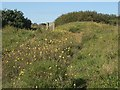 SS8477 : Wildflowers at Merthyr Mawr Warren by eswales