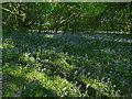 SE2636 : Bluebells in Queen's Wood by Stephen Craven