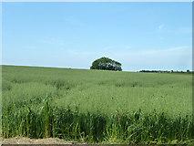 TR2854 : Field of oats by Robin Webster