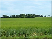 TR2655 : Barley field east of Buckland Lane by Robin Webster