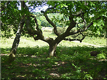 TQ4528 : Tree, Ashdown Forest by Robin Webster