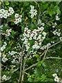 TF0820 : Hawthorn in hedgerow - 2 by Bob Harvey