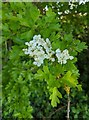 TF0820 : Hawthorn in hedgerow - 4 by Bob Harvey