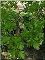 TF0820 : Hawthorn in hedgerow - 5 by Bob Harvey