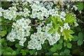 TF0820 : Hawthorn in hedgerow - 7 by Bob Harvey