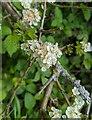 TF0820 : Hawthorn in hedgerow - 9 by Bob Harvey