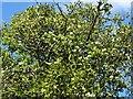 SO7639 : Hawthorn and mistletoe by Philip Halling