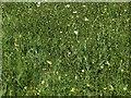 SK6145 : Cowslips and Ox-eye daisies near Lambley by Alan Murray-Rust