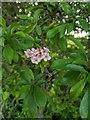 TF0820 : Hawthorn in hedgerow - 15 by Bob Harvey