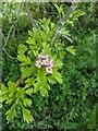 TF0820 : Hawthorn in hedgerow - 21 by Bob Harvey