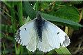 NJ3358 : Orange Tip Butterfly (Anthocharis cardamines) by Anne Burgess