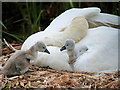 SD7908 : Newly Hatched Cygnets by David Dixon