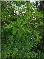 TF0820 : Hawthorn in hedgerow - 26 by Bob Harvey
