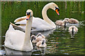 SD7909 : Swan Family on the Canal by David Dixon