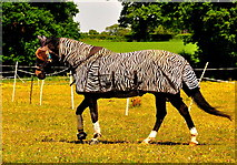 ST8180 : Horse in Zebra Clothing !! Acton Turville, Gloucestershire 2020 by Ray Bird