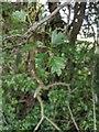TF0820 : Hawthorn in hedgerow - 33 by Bob Harvey