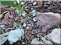 SK6843 : Shells on the shore by Alan Murray-Rust