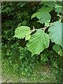TF0820 : Corylus avellana by Bob Harvey
