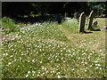 TQ5372 : Ox-eye daisies in St Michael & All Angels Churchyard, Wilmington by Marathon