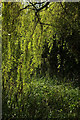 SX8963 : Weeping willow, Cockington by Derek Harper