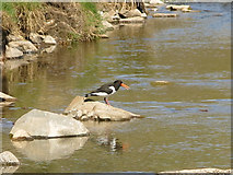NY7346 : Oyster catcher on a rock in the River Nent below Far Hilltop by Mike Quinn