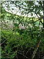 TF0820 : Hawthorn in hedgerow - 35 by Bob Harvey