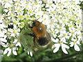 NT2469 : Tree Bumblebee by M J Richardson