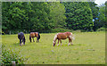 TL5403 : Horses in pasture, near Essex Way, Ongar by Roger Jones