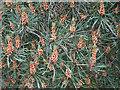 NJ3055 : Scots Pine (Pinus sylvestris) by Anne Burgess