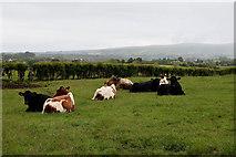 H5472 : Cattle, Bracky by Kenneth  Allen