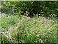 TF0820 : Grasses in flower by Bob Harvey