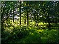 TL5600 : Evening sunlight on the edge of Menageria Wood, Kelvedon Hatch by Roger Jones