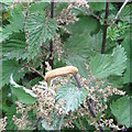 NT2469 : Rust fungus gall on a Stinging Nettle by M J Richardson