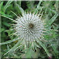 NT2469 : Spear Thistle - Cirsium vulgare by M J Richardson