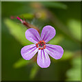 J5080 : Herb Robert, Bangor by Rossographer