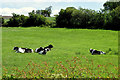 H4171 : Calves, Tamlaght by Kenneth  Allen