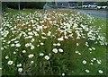 NS5573 : Ox-eye daisies by Richard Sutcliffe