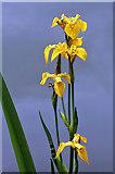 NT4227 : Yellow Flag Iris (Iris pseudacorus) by Walter Baxter