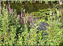 TG3204 : Purple loosestrife and water lilies by Evelyn Simak