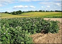 TG3006 : Flowering potato crop by Evelyn Simak
