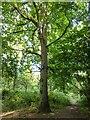 TF0820 : Oak Tree by Bob Harvey