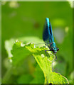 NT9831 : A Banded Demoiselle by the Till by James T M Towill