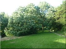 SO3958 : Trees by Pembridge Bridge by Fabian Musto