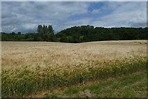 SE7666 : Barley fields near Church Farm by DS Pugh