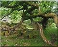 SK2579 : Gnarled oak tree by Graham Hogg