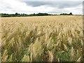 NZ2875 : Field of barley near Middle Farm, Seghill by Geoff Holland