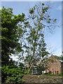 NT2470 : Roadside Ash tree with dieback  by M J Richardson