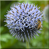 SO4465 : Globe Thistle and bee by Jonathan Billinger