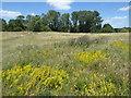 TQ4677 : Wild flowers on East Wickham Open Space by Marathon