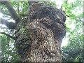 SP3176 : Gnarled oak, Canley Ford by E Gammie